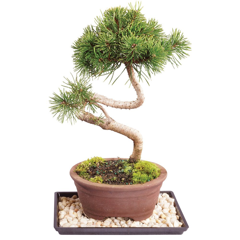 Brussel's Live Dwarf Mugo Pine Outdoor Bonsai Tree - 6 Years Old; 6'' to 10'' Tall with Decorative Container, Humidity Tray & Deco Rock