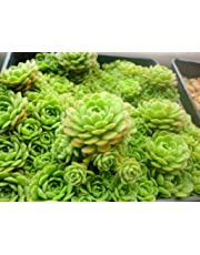 Succulents Seeds 100Pcs Rare Multi Succulent Plants Seeds Ornamental Plants Seeds Courtyard Garden with Flower Seeds for Planting