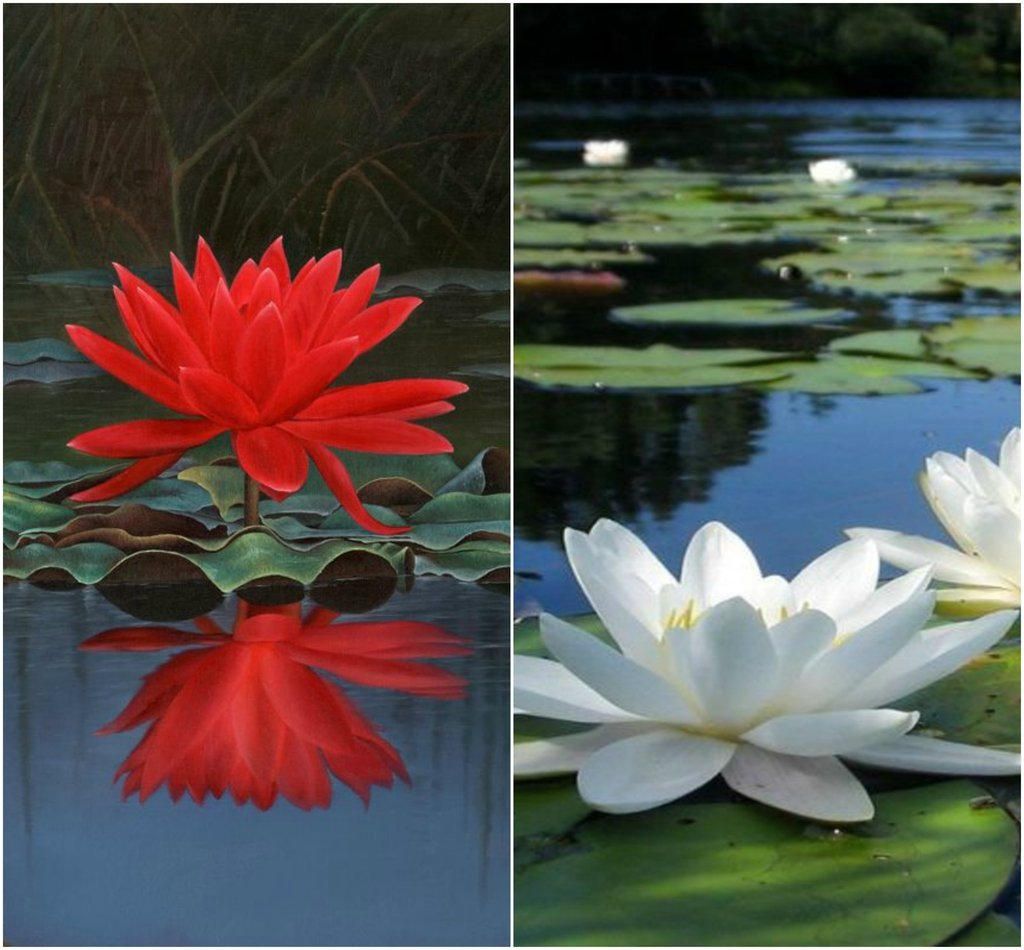 Bee Garden Lotus Flower Seeds 10pcs Red White Colors Amazon