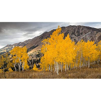 DIY Paint by Numbers Kits Oil Painting Color Talk Canvas Home Wall Decor for Adults Beginner - Aspen Trees in The Fall 16X20 Inch (Frameless): Toys & Games