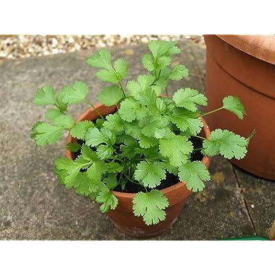 "LIVE Cilantro Herb Plant - Organic NON-GMO - 4 Plants Fit 3.5"" Pot : Garden & Outdoor"