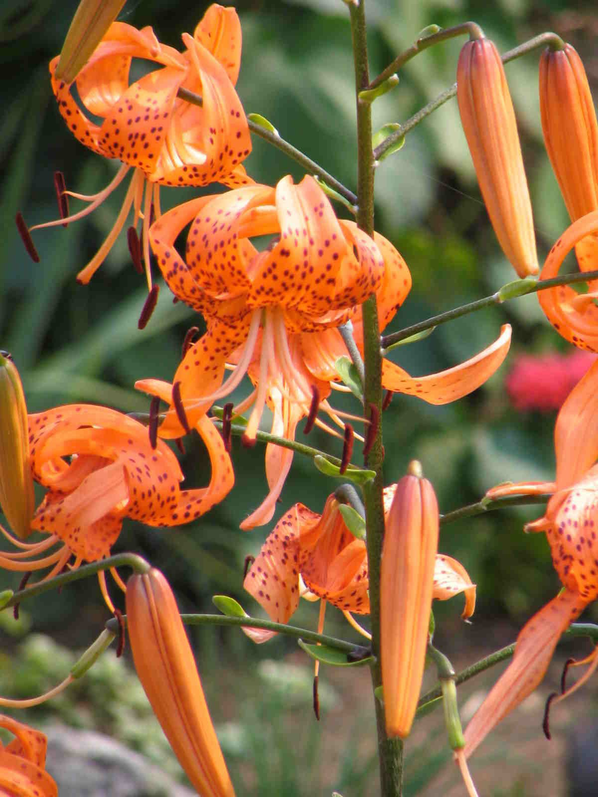 Tiger Lily Seeds (Bulbils) ❤Long Lasting Blooms❤Flowering Perennial❤10 Bulbils