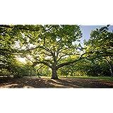 inoculated with Tuber aestivum; Black Summer//Autumn Truffle Spores Hazel Truffle Tree