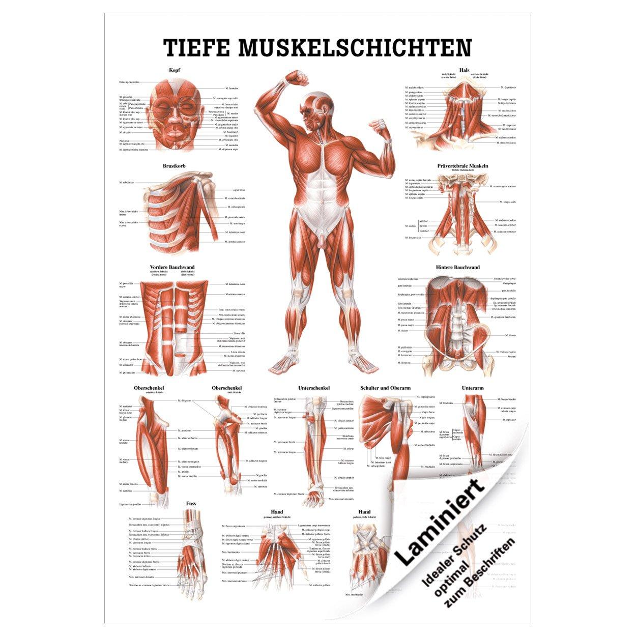 Wunderbar Anatomie Des Brustkorbs Und Organe Bilder - Menschliche ...