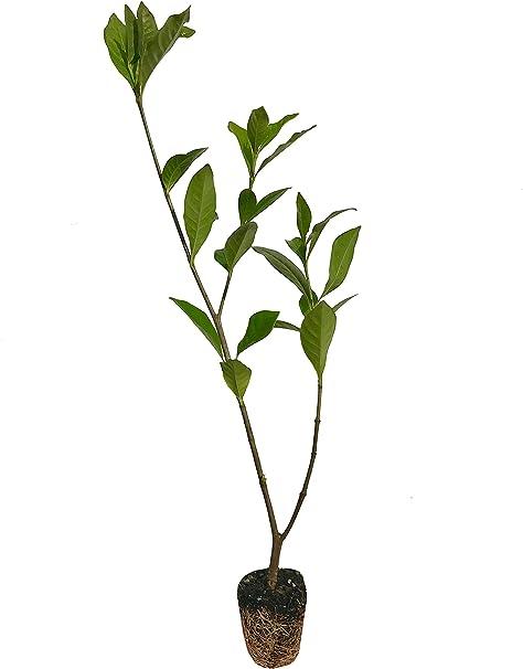 Amazon Com Everblooming Gardenia Jasminoides Veitchii 3 Live