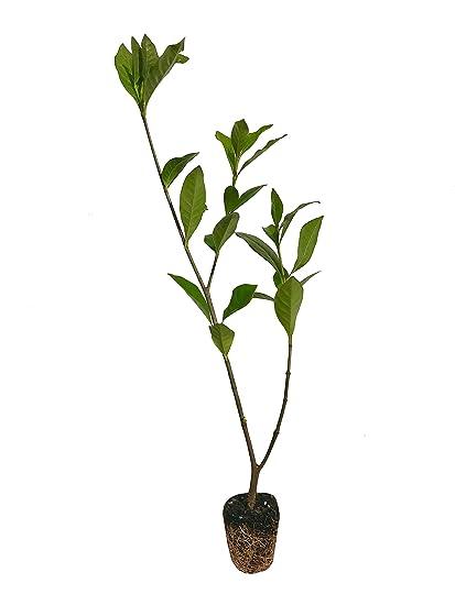 Everblooming Gardenia Jasminoides \u0027Veitchii\u0027 , 3 Live Plants , Beautiful  Fragrant Blooming Shrub