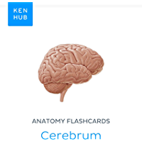 Anatomy flashcards: Cerebrum: Learn all organs and terminology on the go (Kenhub Flashcards Book 35) (English Edition)