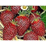 20 Erdbeerpflanzen Erdbeersetzlinge Erdbeerprofi Junitragend Erdbeere Maxim Erdbeergr/ünpflanzen Pflanzzeit: August - September