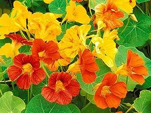Dwarf Jewel Mix Nasturtium Flower, Pack of 500 Seeds by Seeds2Go