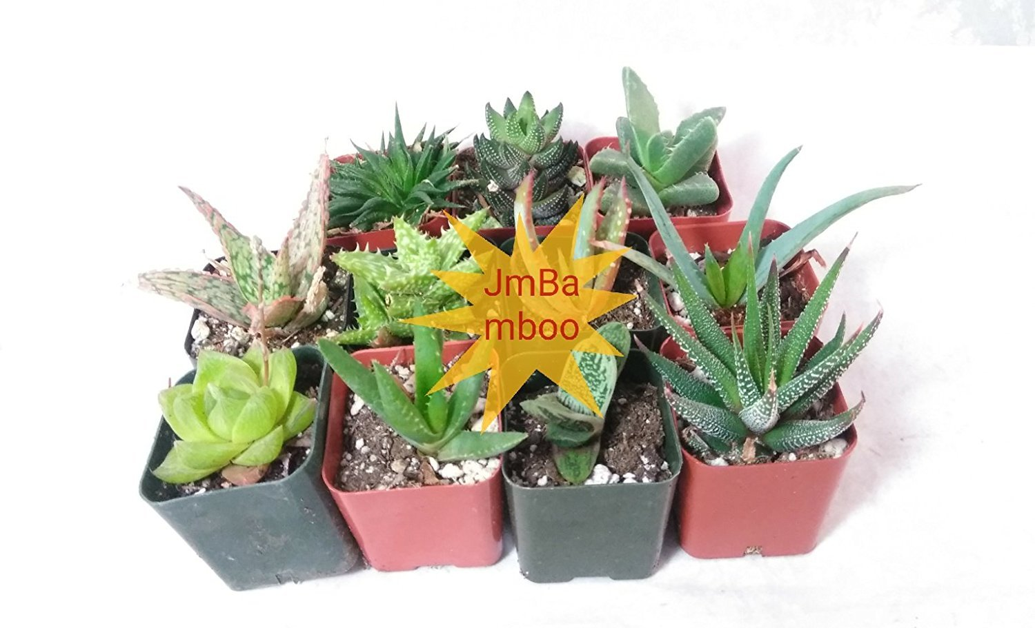 JM BAMBOO 5 Different Aloe Plants Easy to Grow/Hard to Kill! 2'' Pots Unique