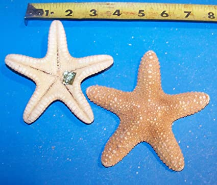 "1 UNDER 5/"" REAL JUNGLE STARFISH STAR FISH SEASHELLS"