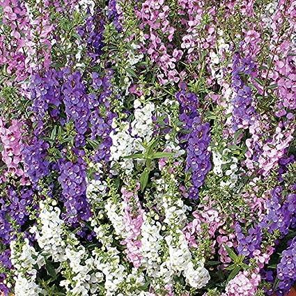 Amazon.com: Parque semillas angelonia Serena Mix Semillas ...