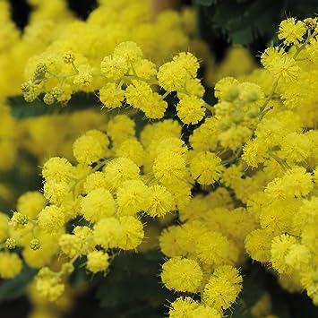 Acacia Perennial Drought Tolerant Garden Plant Evergreen Fragrant