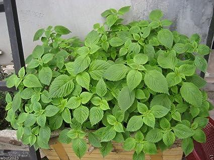 Amazon.com : Vietnamese Balm-kinh Giới (500 Seeds) 30 Days to ...