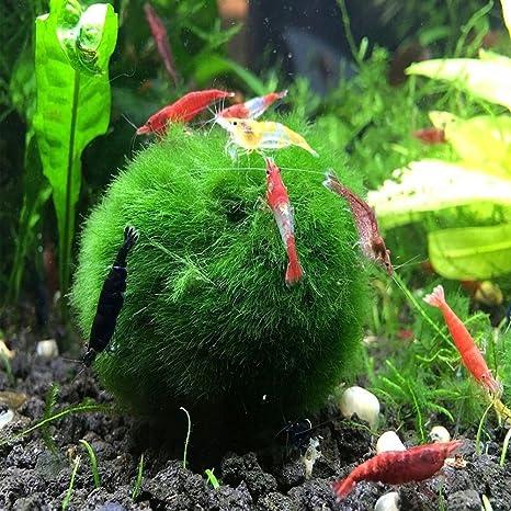 6 Aegagropila linnaei de bolas de espuma 4 - 7 cm Large Living Moss bola Plant gigante Live Cladophora Acuario Planta acuática para tanque peces o de gambas ...