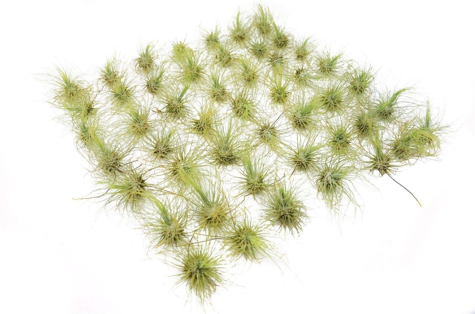 50-Pack Fuchsii Air Plants / 2-3 Inches Large/Wholesale/Bulk