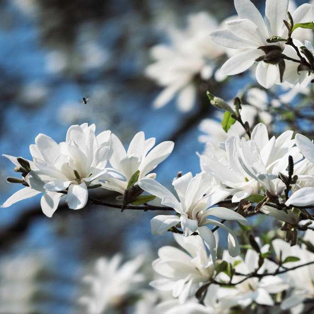 FastDirect Semillas de Magnolia Multicolor Semillas de Flores 10 ...
