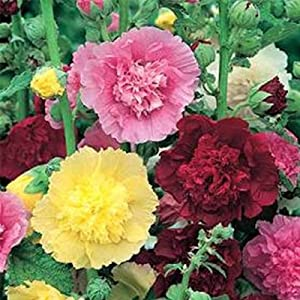 Summer Carnival Mix Hollyhock Flower Garden Seeds - 1000 Seeds - Perennial Holly Hock Flower Gardening