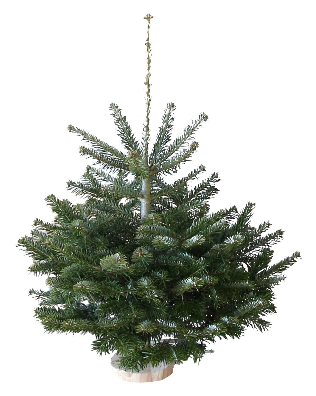 Echter Weihnachtsbaum Nordmanntanne H=ca. 0,60-0,75 m Premium frisch ...
