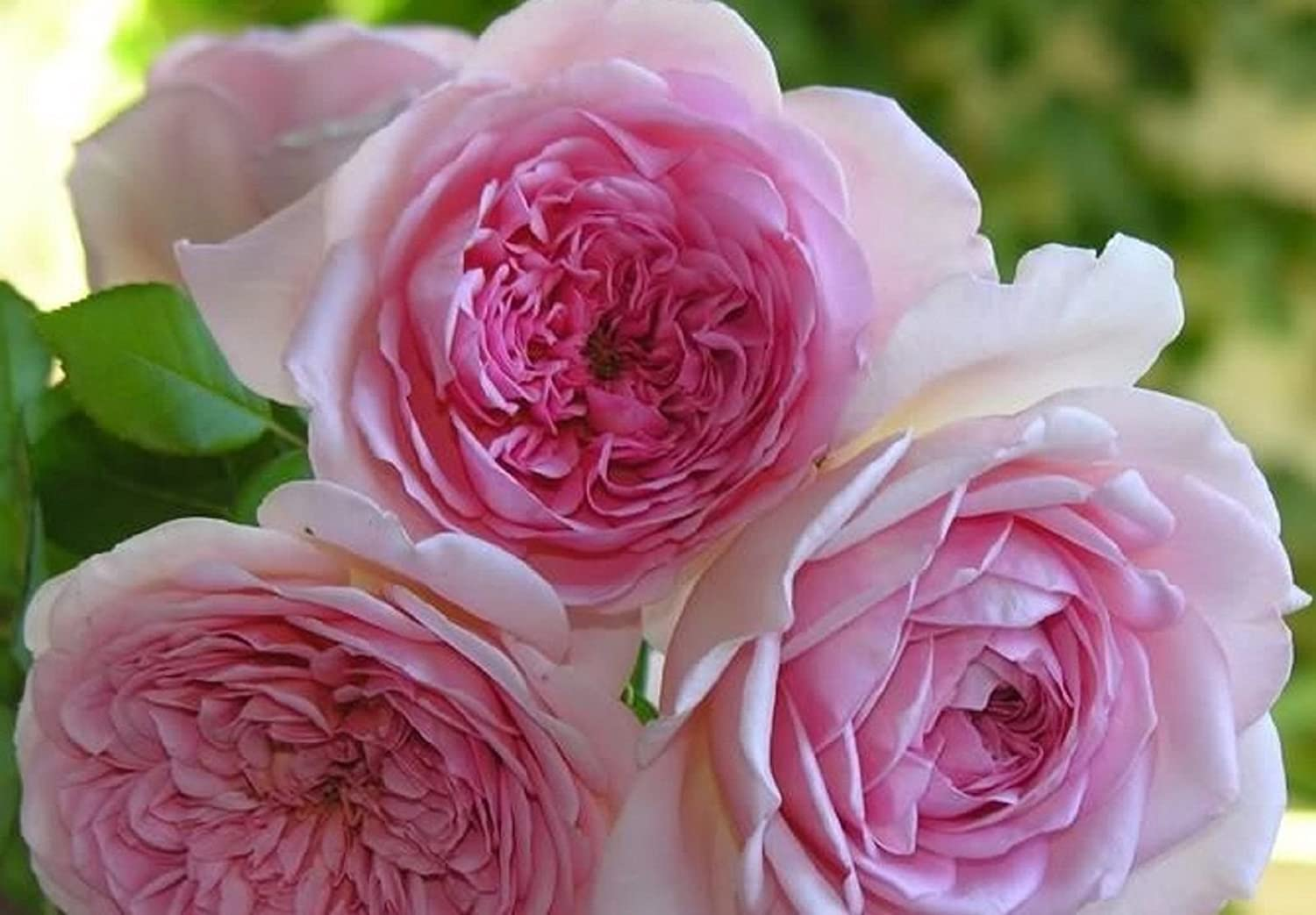 Beautiful Austin Roses Climbing Roses Flower Seeds