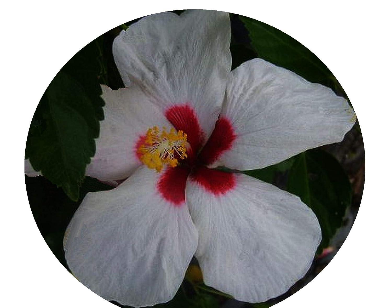 Amazoncom Hawaiian Dot Tropical Hibiscus Live Plant Single