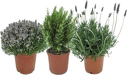 Plantas Aromáticas Mediterráneas: 1 Lavanda + 1 Romero + 1 Tomillo ...