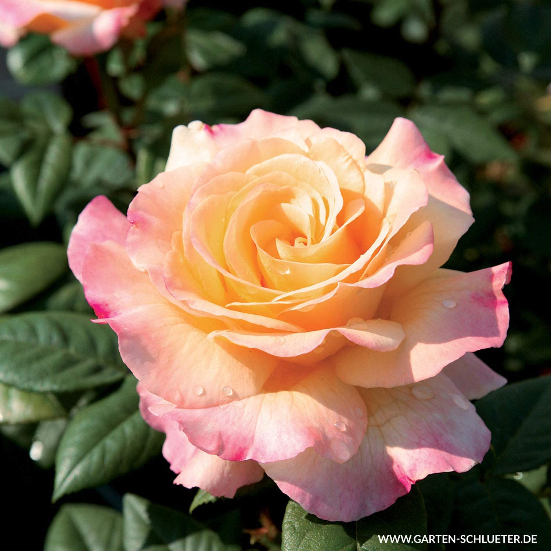 rosen bekommen gelbe blätter