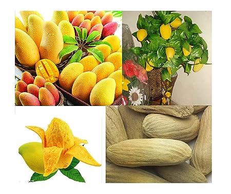 2x Mini Mango de Majes kleinste Mango der Welt Samen Garten Obst #350