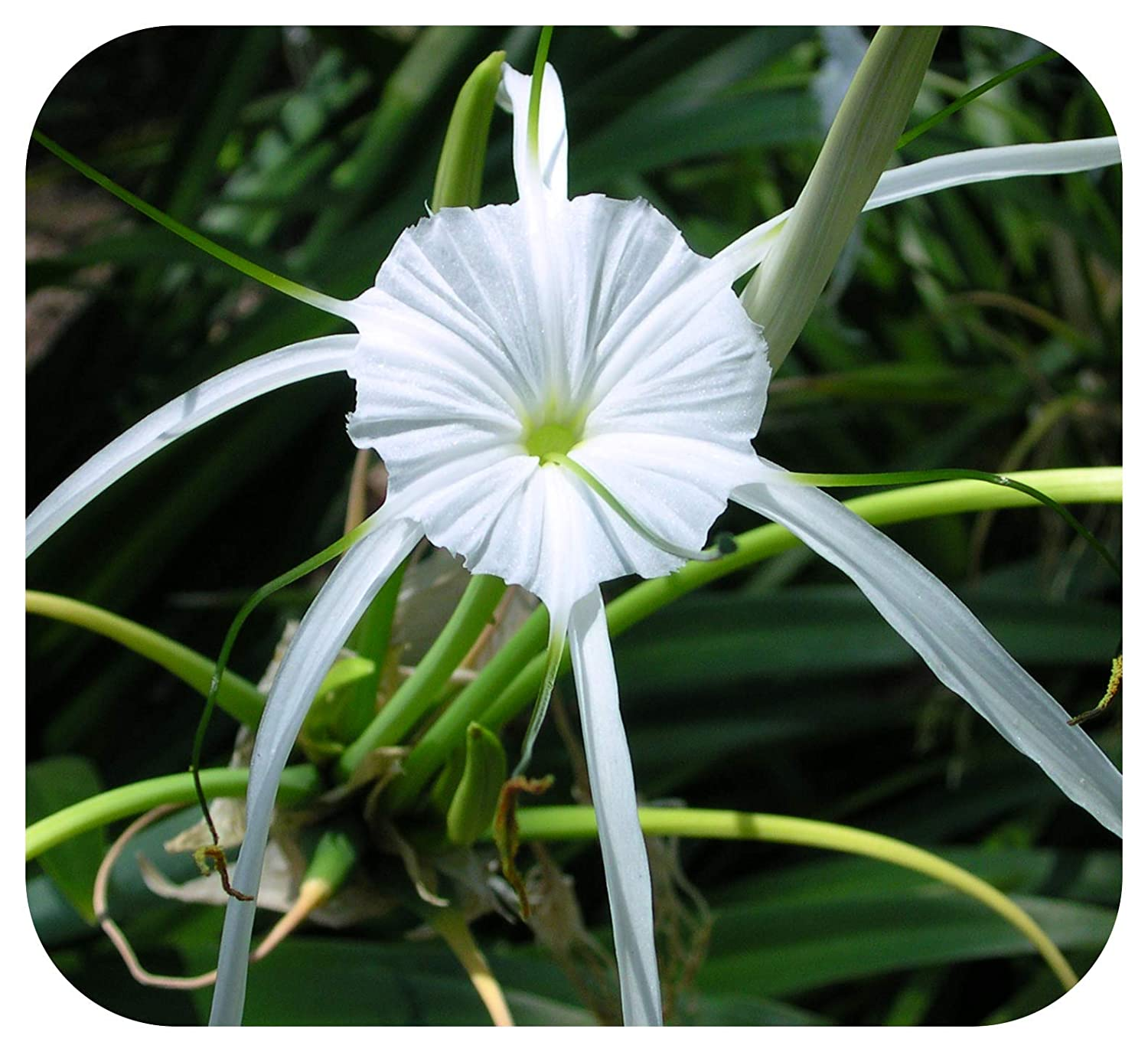 Hymenocallis Festalis Spider Lily Bulbs x 3 Size 12/+ Perennial, Conservatory by Plug Plants Express Limited