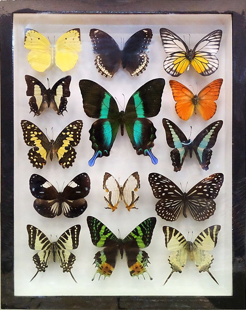 REAL 14 MIX BEAUTIFUL BUTTERFLY IN FRAME WOOD PREMIUM BLACK DISPLAY INSECT TAXIDERMY