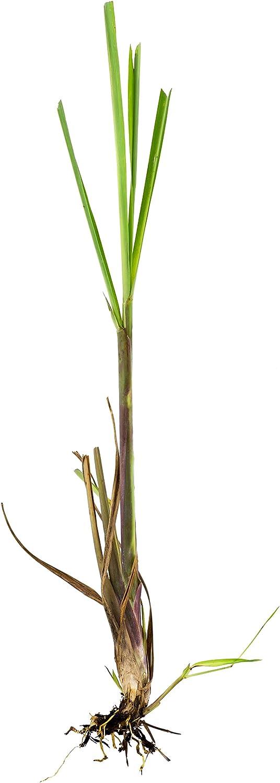 DeVos Organic Lemongrass Live Plants Bare Root 3-5 Stalks