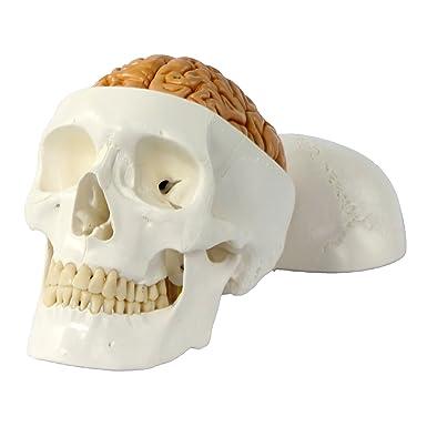 Cranstein E-236 Schädel Modell (3 tlg) mit Gehirn (8 tlg) - Anatomie ...