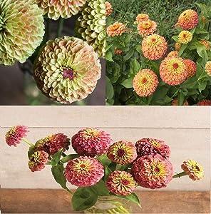 David's Garden Seeds Collection Set Heat Tolerant Flower Zinnia Queen Lime 3155 (Multi) 3 Varieties 150 Non-GMO, Open Pollinated Seeds
