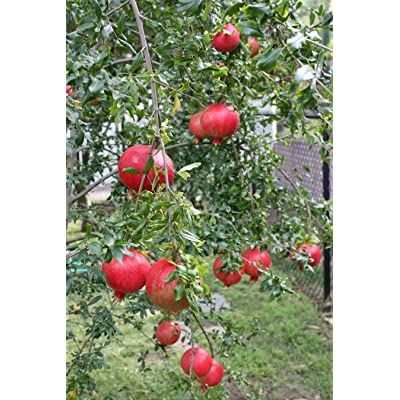 Pixies Gardens (3 Gallon) SALAVATSKI Also Known as Russian-Turk Pomegranate Shrub - Very Large Fruit Orange-red in Skin, red arils and Sweet/Tart Juice. Extremely Cold Hardy. Easy to Grow : Garden & Outdoor