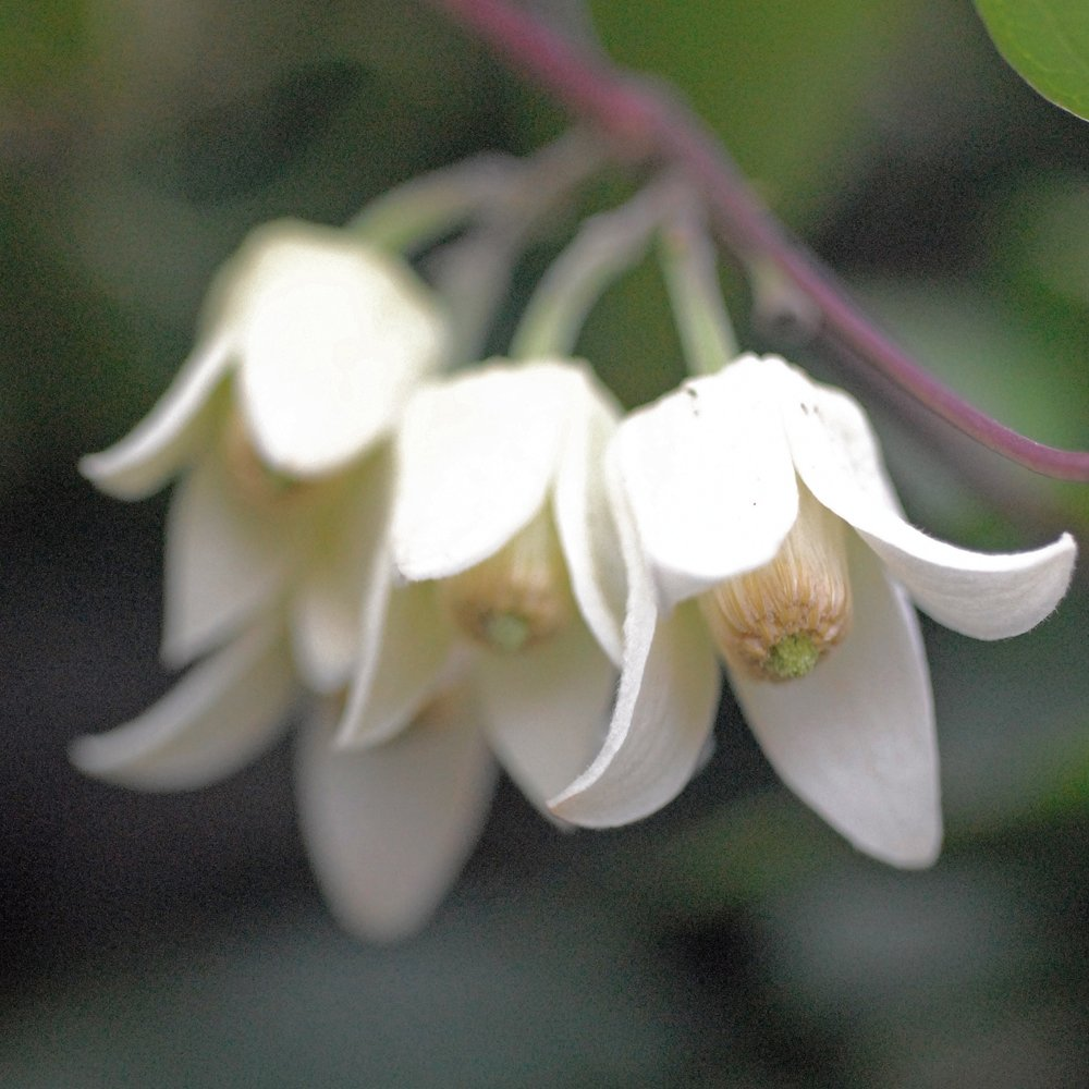 Climbing Clematis Plant Winter Flowering Evergreen For Outdoors
