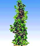 BALDUR-Garten Säulen-Brombeeren Navaho® 'Big&Early', 1 Pflanze, Rubus fruticosa