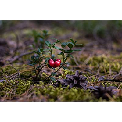 Stevens Cranberry Plant - 1 Year Old : Garden & Outdoor