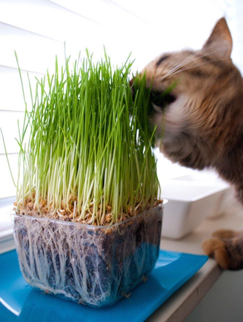SIS Haustier Sis mascotas bio gato hierba Semillas 1 bolsa con 30 g mezcla de semillas para aprox. 15 ollas fertiges gato hierba: Amazon.es: Productos para mascotas