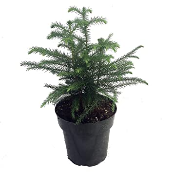 Amazon.com: Norfolk Island Pine - The Indoor Christmas Tree - 6 ...