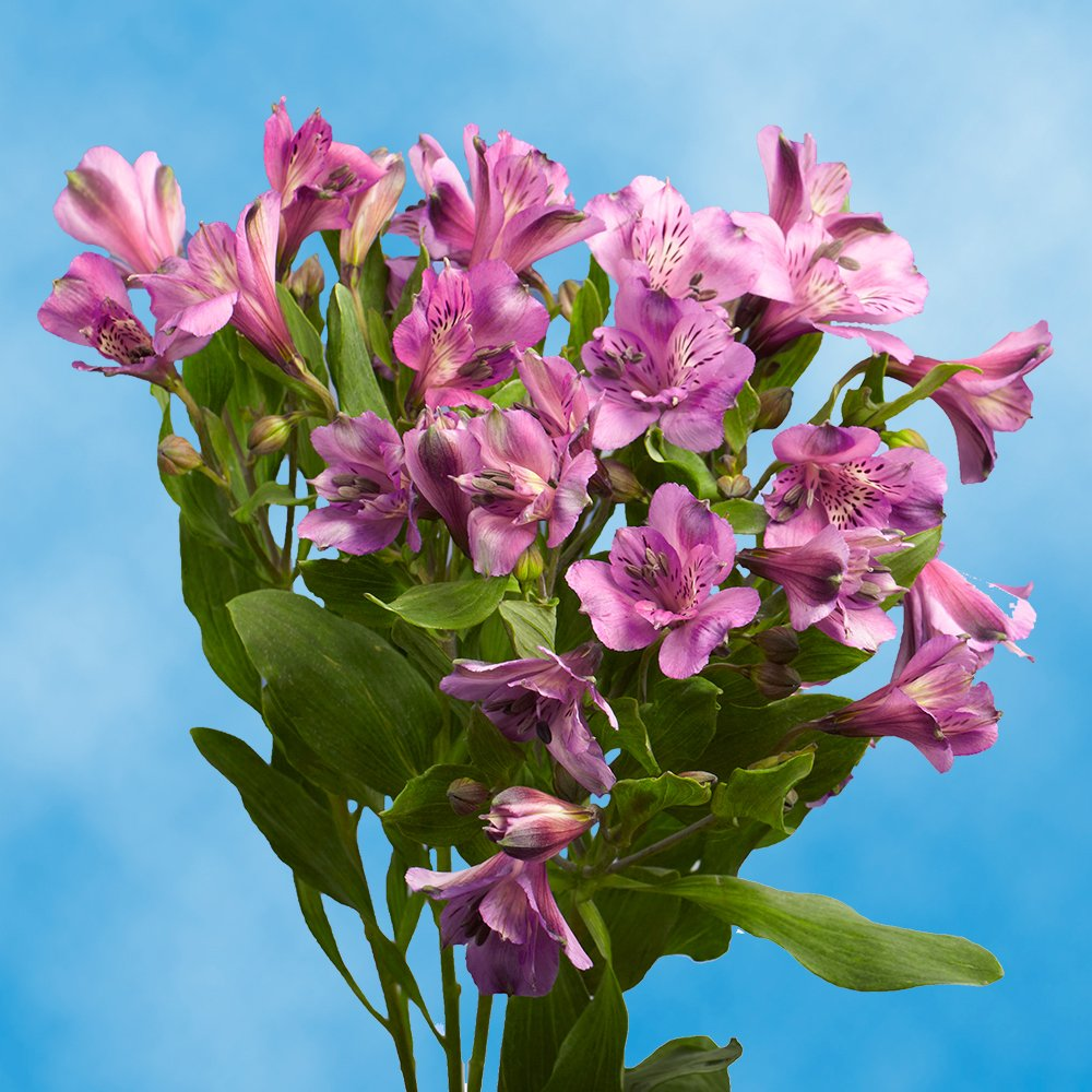 GlobalRose 240 Blooms of Lavender Select Alstroemerias 60 Stems - Peruvian Lily Fresh Flowers for Delivery