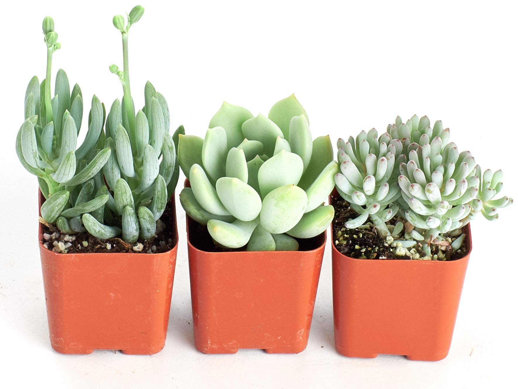 Shop Succulents   It's a Boy Blue Live Plants, Hand Selected Variety Pack of Mini Succulents     Collection of 3 in 2'' pots, 3