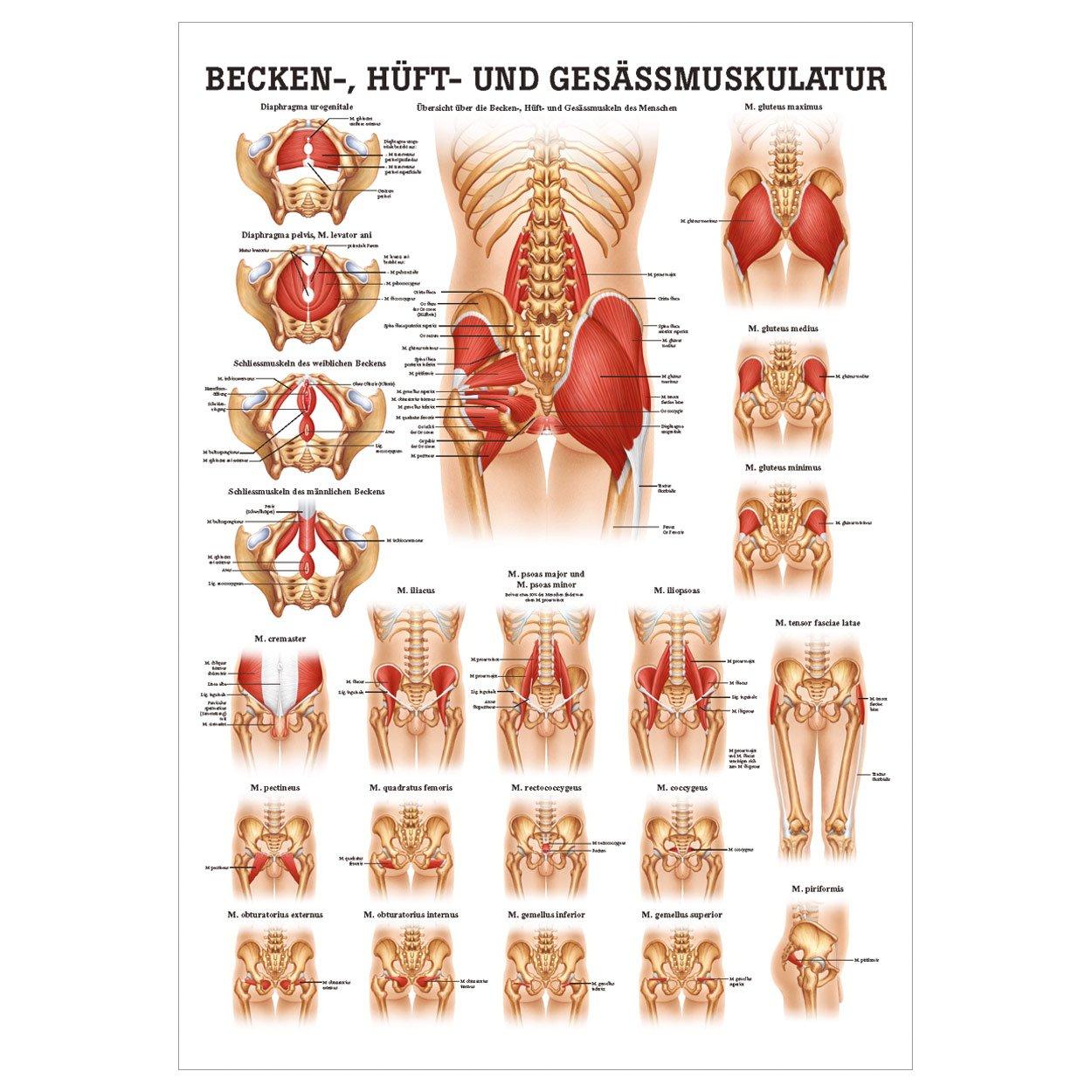 Gesäss, Hüfte u. Beckenmuskulatur Poster Anatomie 70x50 cm med ...