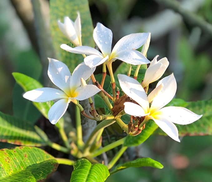 Portal Cool Cereus Jamaracu - Reina de la noche - 25 semillas ...