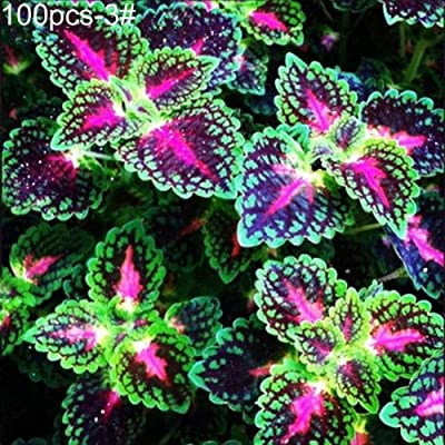 junshi11 100Pcs Colored Grass Coleus Seeds Bonsai Pot Perennial Home Easily Grow, Annual Temperate Planting, Indoor Outdoor Decoration Garden Gifts 3# Coleus Seeds : Garden & Outdoor