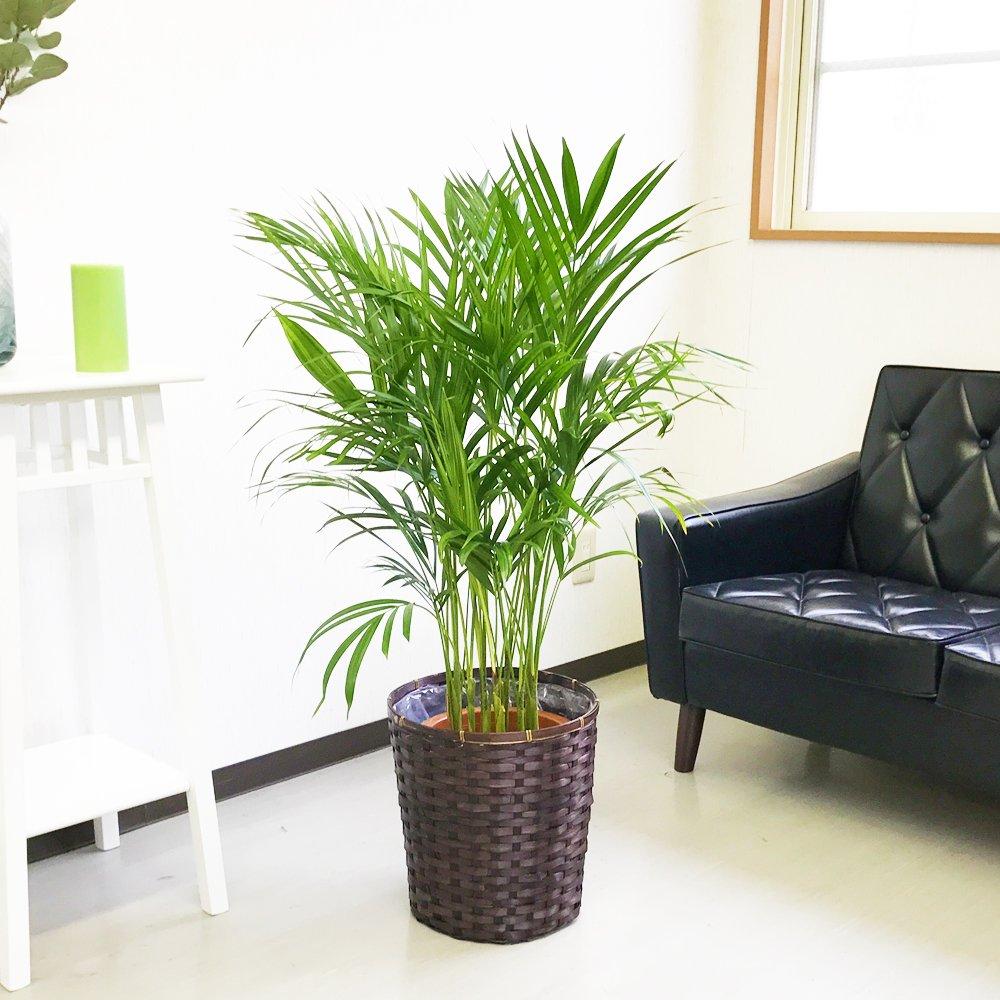 アレカヤシ ヤシの木 鉢カバー付 観葉植物 インテリア 中型 大型 B013HVCFS8