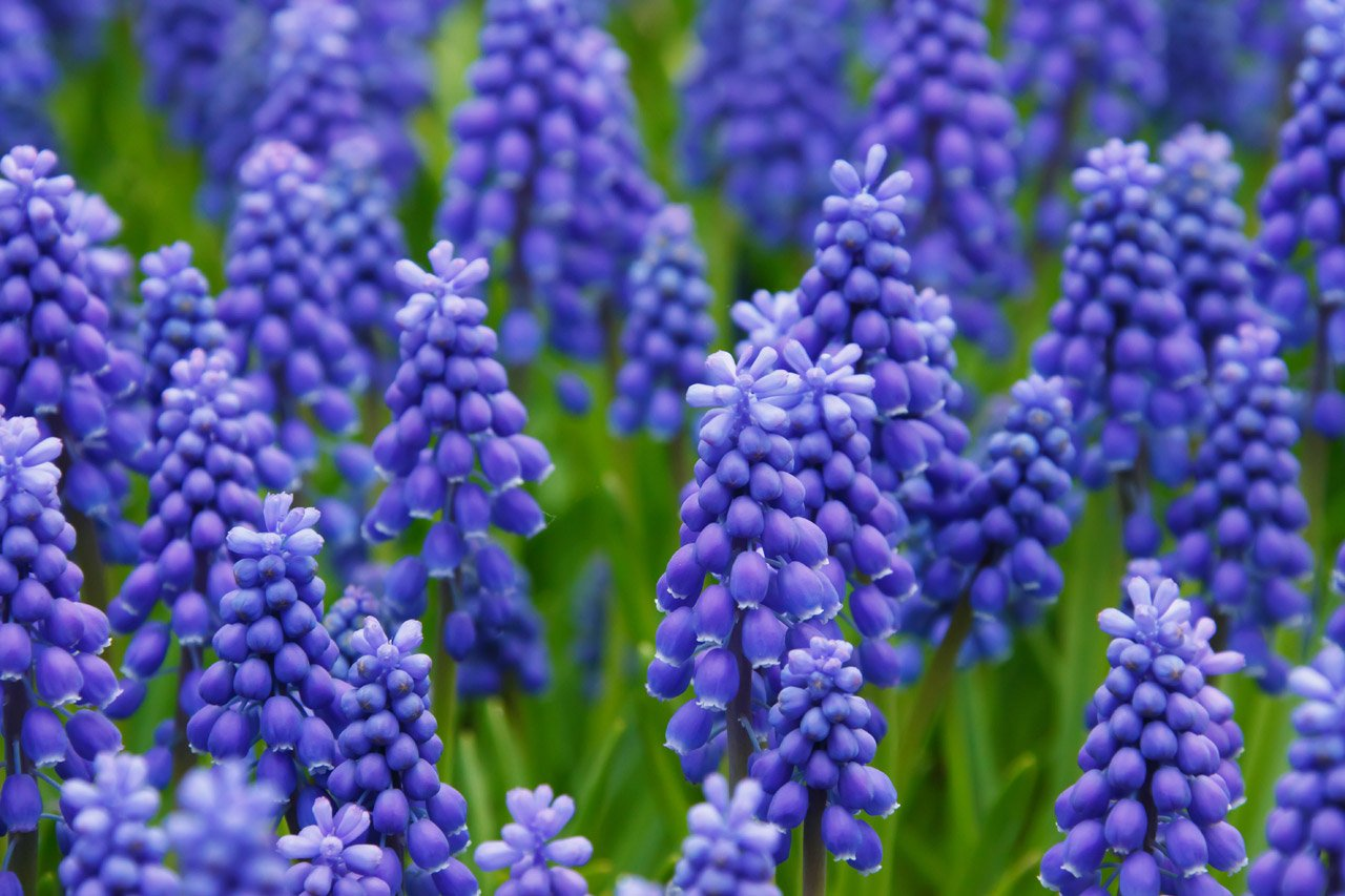 30 Grape Hyacinth Bulbs-muscari Armeniacum, Called Grape Hyacinth, Spring-blooming Bulbs~now Shipping, Pepennial by CaribbeanGarden