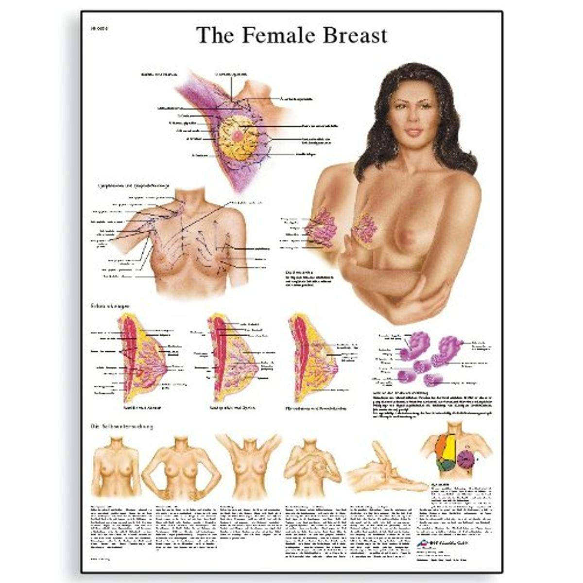 "3B Scientific VR1556UU Glossy Paper The Female Breast Chart Anatomy, Pathology and Self-Examination, Poster Size 20"" Width x 26"" Height"