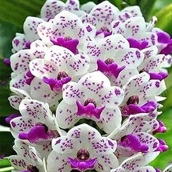 Kisshes Seedhouse - 50/100pcs Asie Graines de \'Orchidées jacinthe ...