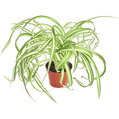 Shop Succulents | 'Bonnie' Curly Spider Hand Selected for Health and Size Hanging Plant, 4 inch: Garden & Outdoor