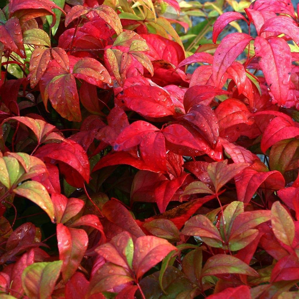 Nandina domestica Firepower - Sacred/Heaven Bamboo, Firepower; 3 Plants in 9cm Pots IR Plant and Garden Centre